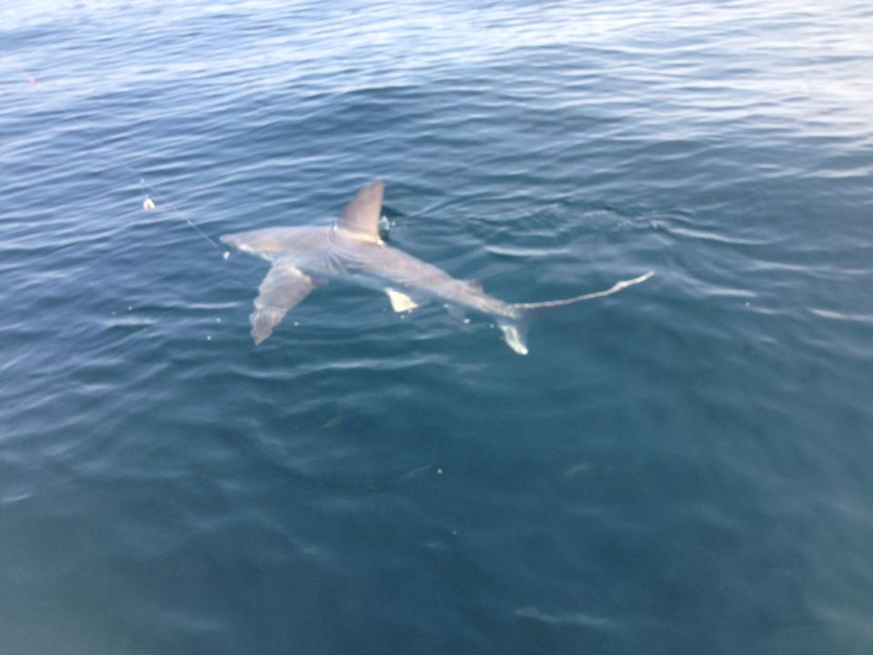 shark off Grayton Beach